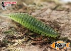 fishup-tanta1,5''-4,2cm-color-watermelon-042